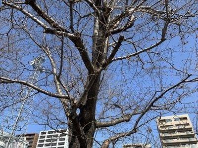 0402桜②_R.jpg
